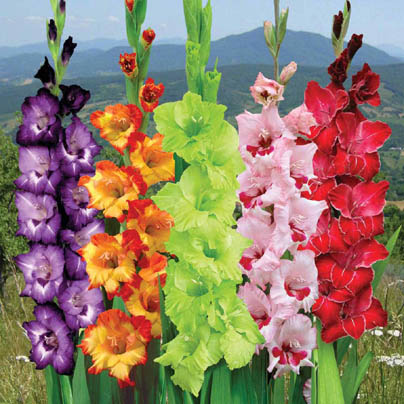 Gladiolus Cultivation