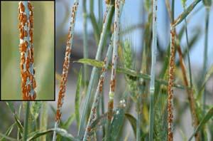 Rice disease